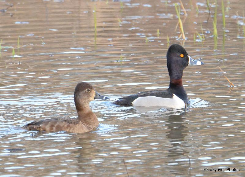 Ring-necked Ducks (F&M) Apr 17 2015