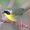 Common Yellowthroat (M) May 21 2015