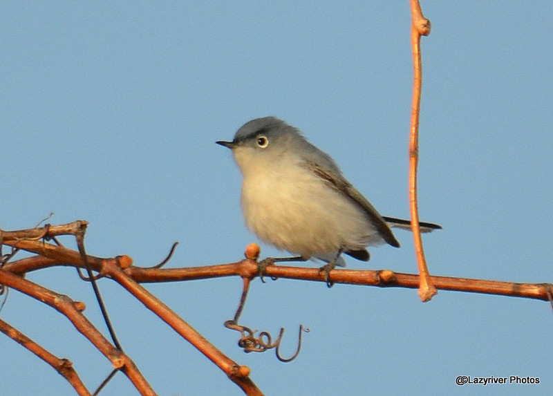Blue-gray Gnatcatcher May 3 2015