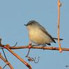 Blue-gray Gnatcatcher May 3 2015