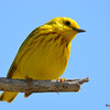 Yellow Warbler (M) May 14 2015