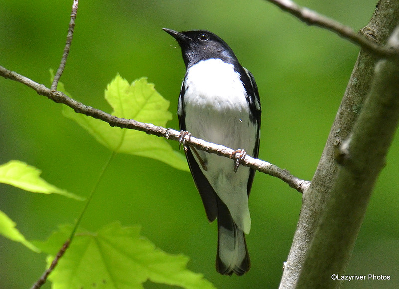 Black-throated Blue Warbler May 29 2015