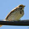 Savannah Sparrow June 19 2015