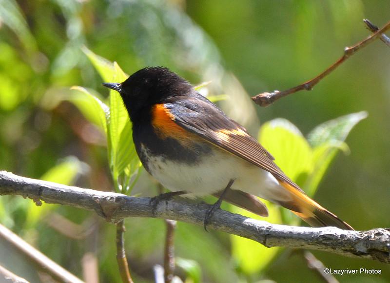 American Redstart (M) May 14 2015