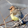 Cedar Waxwing Feb 28 2015