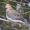 Mourning Dove Feb 6 2015