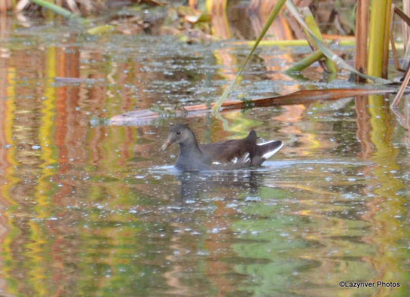 Common Moorhen Oct 5 2015