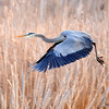 Great Blue Heron May 2 2015