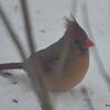 Northern Cardinal (F) Jan 11 2015