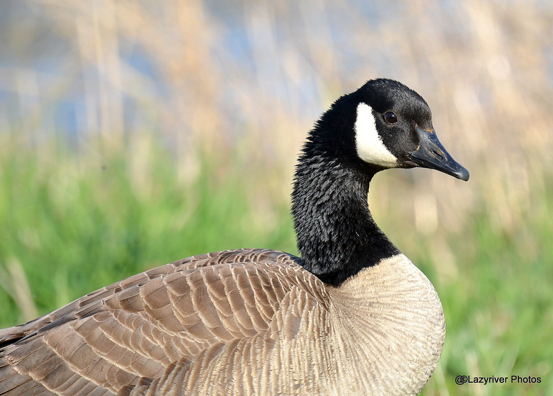 Canada Goose May 2 2015