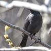 Rusty Blackbird May 3 2015