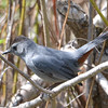 Gray Catbird May 13 2015