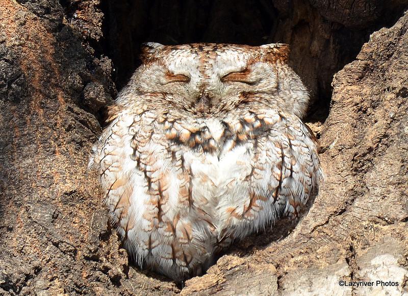 Eastern Screech Owl Feb 28 2015