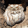 Eastern Screech Owl Feb 28 2015