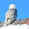 Snowy Owl (F) Feb 1 2015