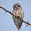 Barred Owl Feb 6 2015