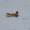 American Wigeon Oct 5 2015