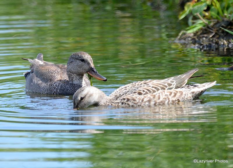 Gadwall Ducks June 4 2015