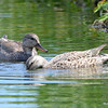 Gadwall Ducks June 4 2015