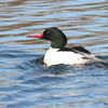 Common Merganser (M) Mar 29 2015