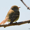 Least Flycatcher May 14 2015