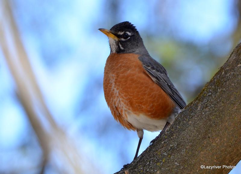 American Robin Apr 14 2015
