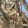 Great Horned Owl Apr 3 2015