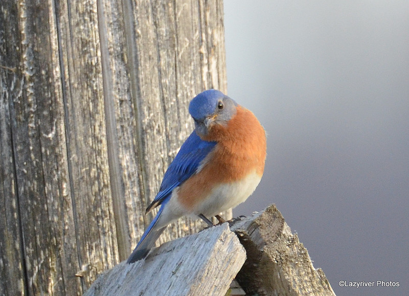 Eastern Bluebird (M) Apr 17 2015