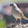 White-crowned Sparrow May 6 2015