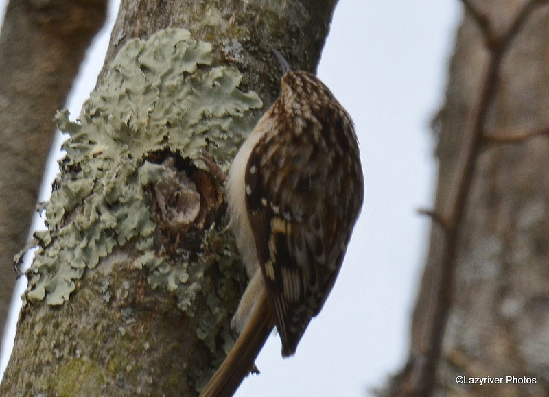 Brown Creeper Mar 5 2015
