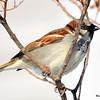 House Sparrow Feb 28 2015