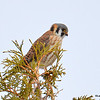 American Kestrel Apr 9 2015