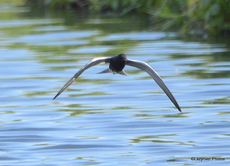 Black Tern June 4 2015