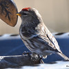 Common Redpoll Apr 15 2015