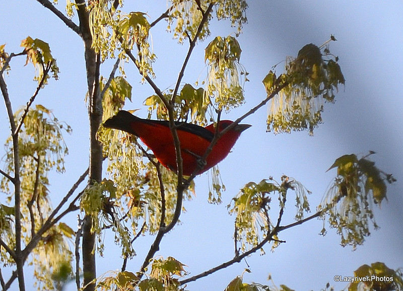 Scarlet Tanager (M) May 14 2015