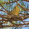 Pine Warbler Sept 12 2015