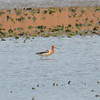 American Avocet May 4 2015