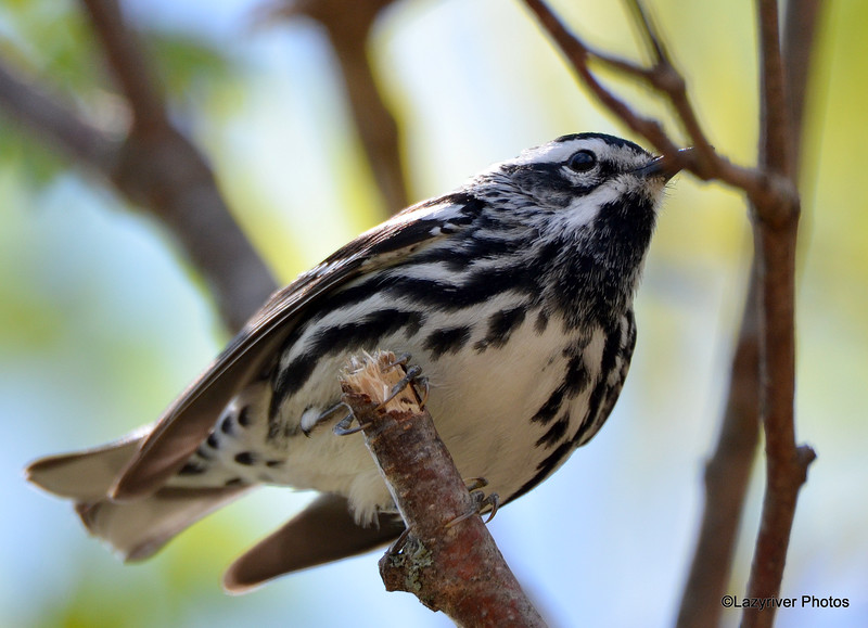 Black-and-white Warbler May 13 2015