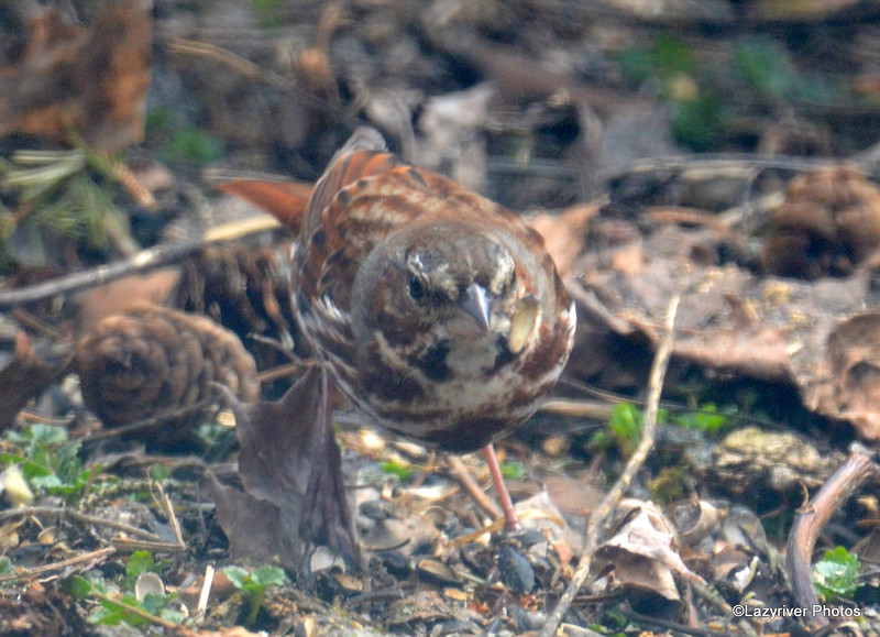 Fox Sparrow Apr 18 2015