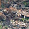 Fox Sparrow Apr 18 2015