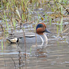 Green-winged Teal (M) Apr 20 2015