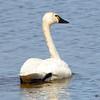 Tundra Swan May 3 2015
