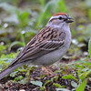 Chipping Sparrow May 27 2015