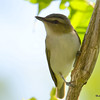 Red-eyed Vireo June 3 2015