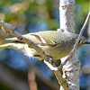 Ruby-crowned Kinglet May 1 2015
