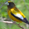 Evening Grosbeak (M) May 13 2015