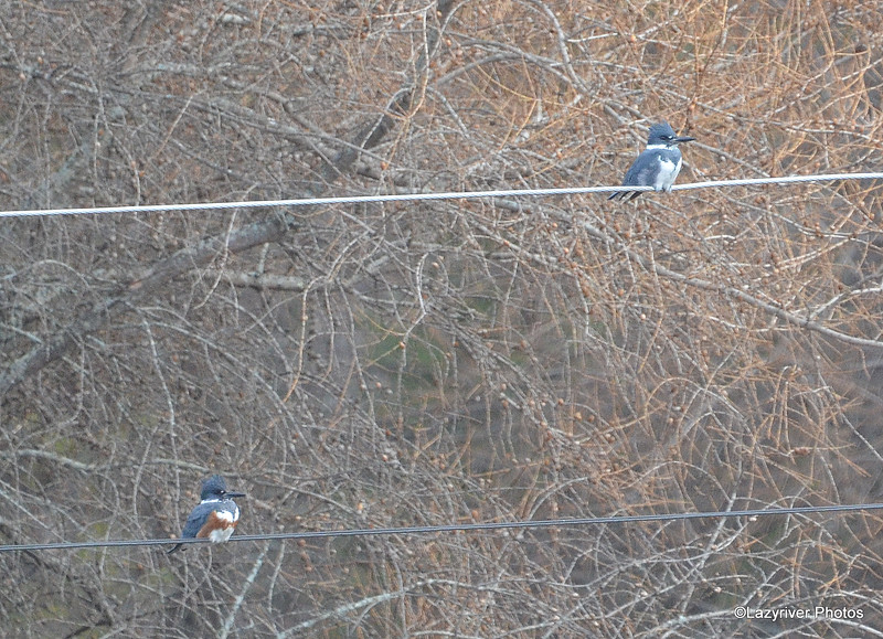 Belted Kingfisher (F&M) Apr 20 2015