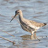 Greater Yellowlegs May 1 2015