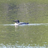 Common Loon June 3 2015