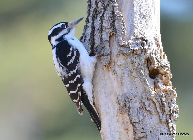 Hairy Woodpecker (F) Apr 19 2015